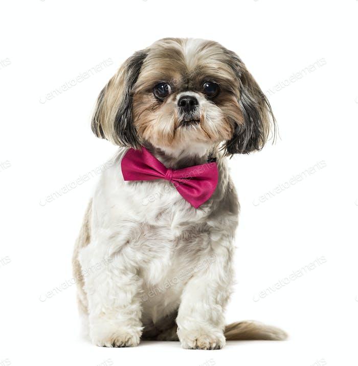 Cute sitting Shih Tzu Dog wearing a bow tie, cut out