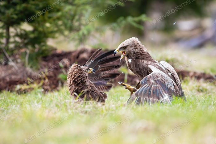 Lesser spotted eagles fighting in a duel against each other
