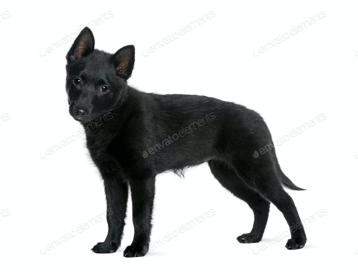 Puppy Spitz, 3 years old, standing in front of white background, studio shot