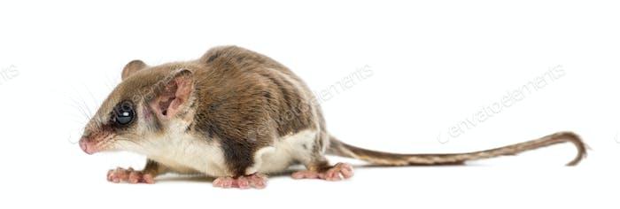 Zuckergleiter - Akrobates pygmaeus