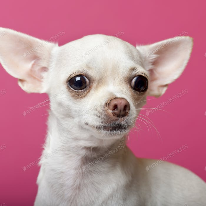 Close-up of Chihuahua puppy, 6 months old, in front of pink background