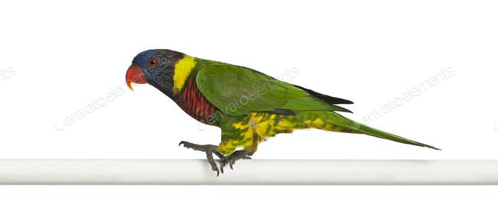 Ornate Lorikeet, Trichoglossus ornatus, a parrot, perching in front of white background
