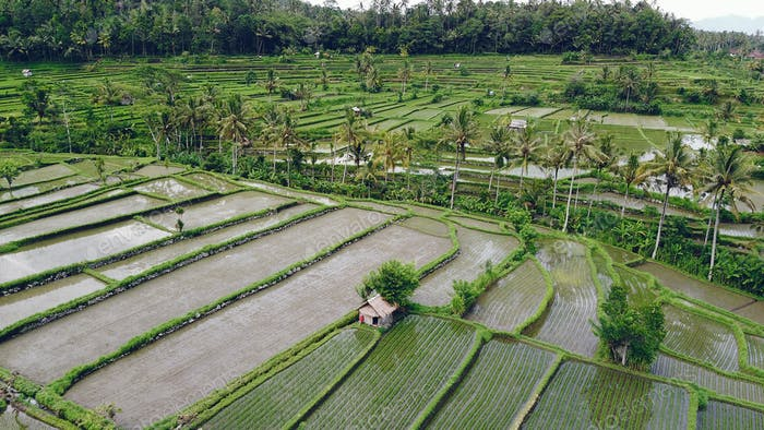 Fields in Bali are photographed from a drone