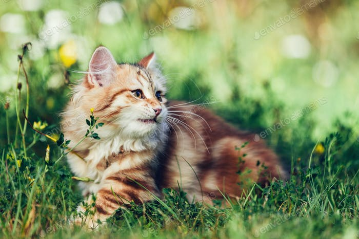 A kitten - Siberian cat playing in grass