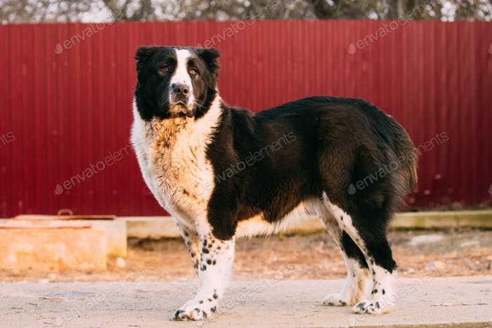 Central Asian Shepherd Dog Standing In Village Yard. Alabai Dog