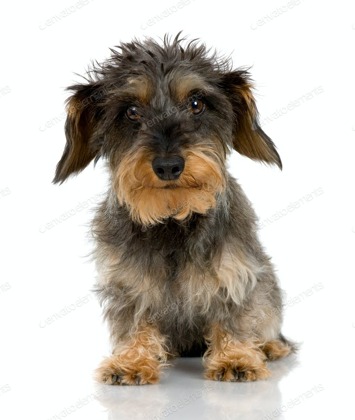 Coarse haired Dachshund (3 years)