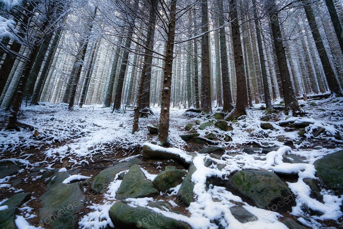 Tall dense old spruce trees grow on a snowy slope
