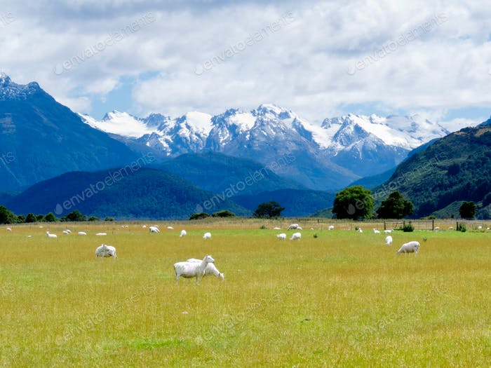 Sheep and peaks of Mt Aspiring NP Southern Alps NZ
