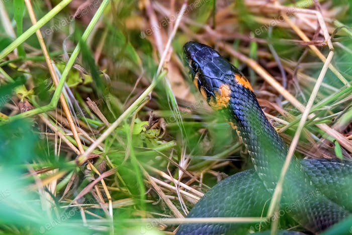 Close-up grass snake or Natrix natrix