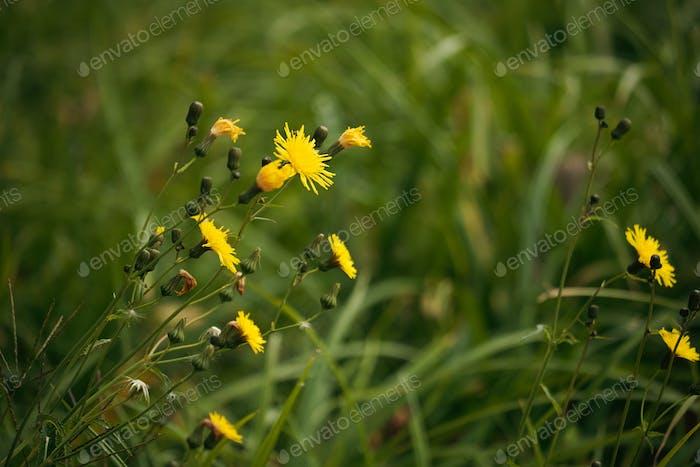 Yellow dandelion flowers macro photot