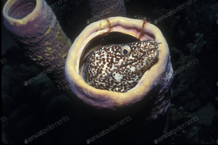Spotted moray eel in a tubular sponge.