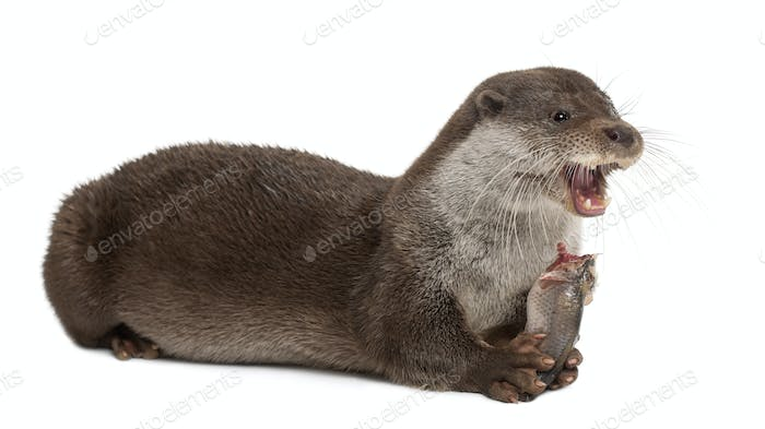 European Otter, Lutra lutra, 6 years old, lying and eating against white background
