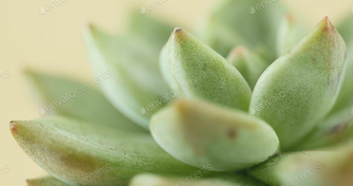 Top view of succulent plant
