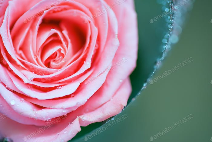 The middle of a red rose with water drops on petals. Close up, flower background