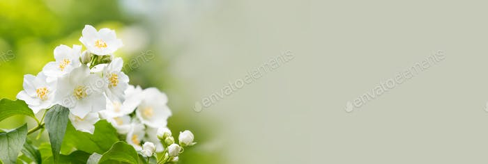 A branch of jasmine with blossoming white petals flowers.