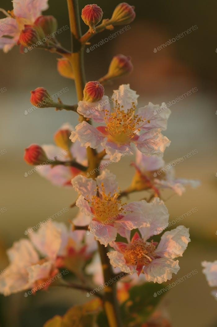 Inthanin flowers in bloom