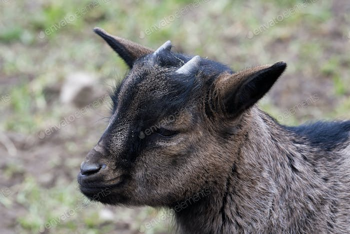Portrait of dark brown goat with blurred background