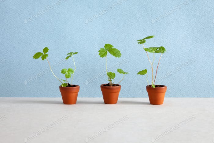 Gardening and organic agriculture concept. Three flowerpots with strawberry plants.