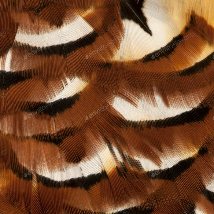 Close up of Male Reeves's Pheasant, Syrmaticus reevesii, feathers