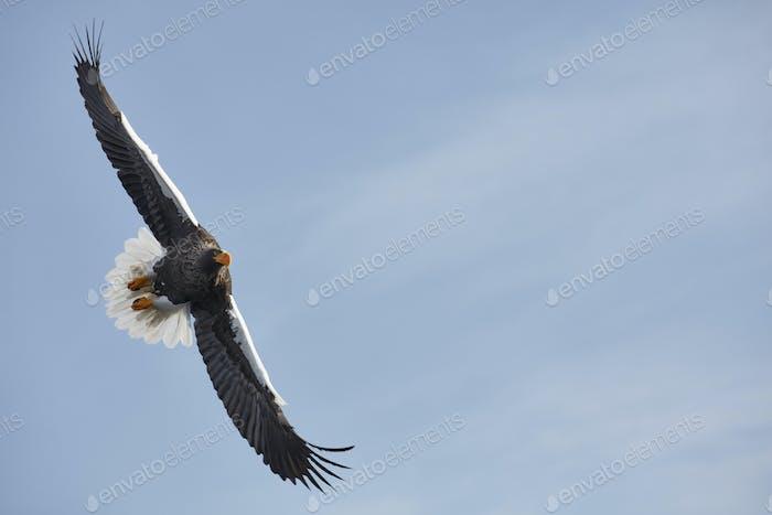 Steller's Sea Eagle (Haliaeetus pelagicus) landing on frozen bay in winter.