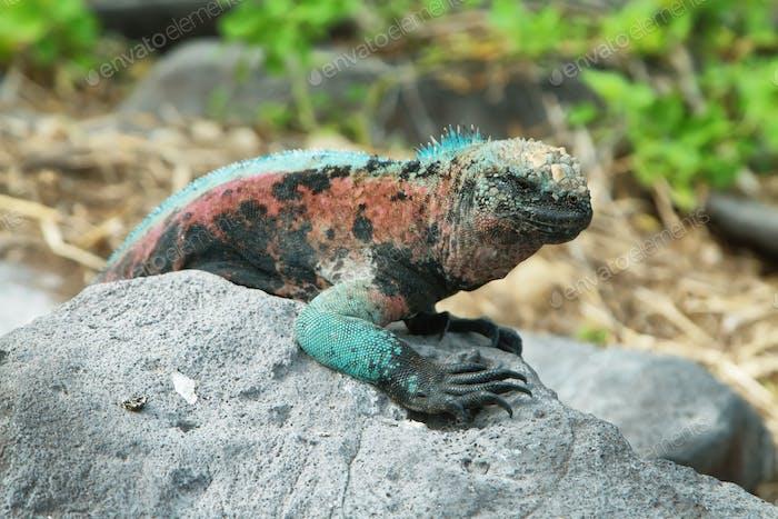 Galapagos Marine-Leguan