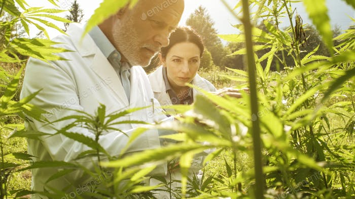 Researchers checking hemp plants in the field