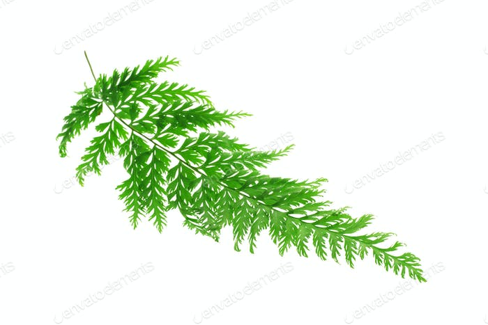 Tropisches Farnblatt