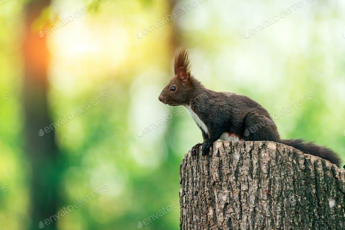 Eichhörnchen auf Sommerstumpf Baum