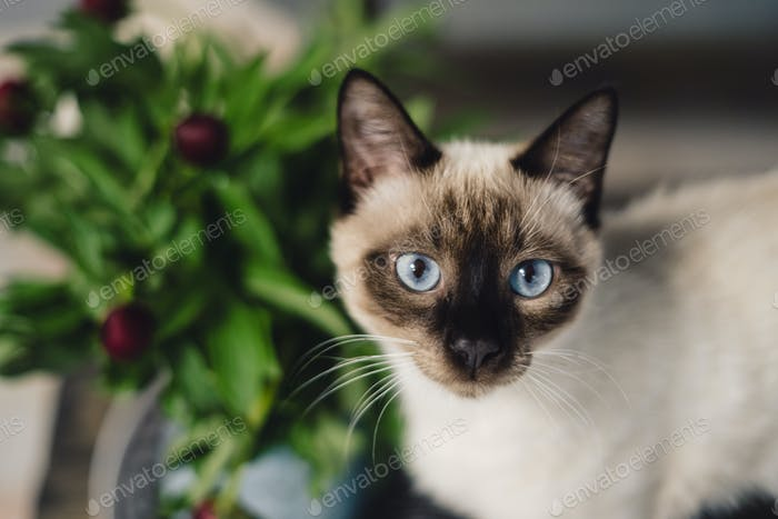 Siamese cat with spring flowers