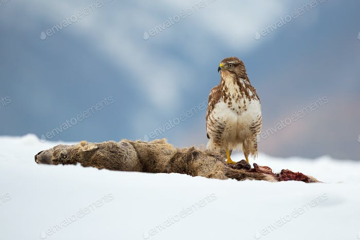 Common buzzard sitting on snowy field in wintertime nature