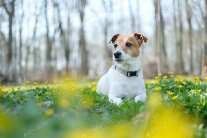 Jack Russel Terrier auf Blumenwiese
