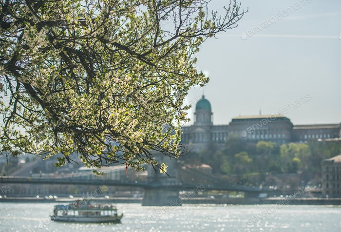 Blooming tree at Danube Pest embankment, Buda castle at background