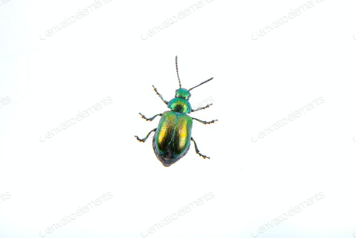 Green beelte on a white background