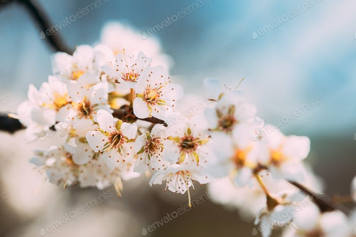 White Young Spring Flowers Of Prunus subg. Cerasus Growing In Branch Of Tree
