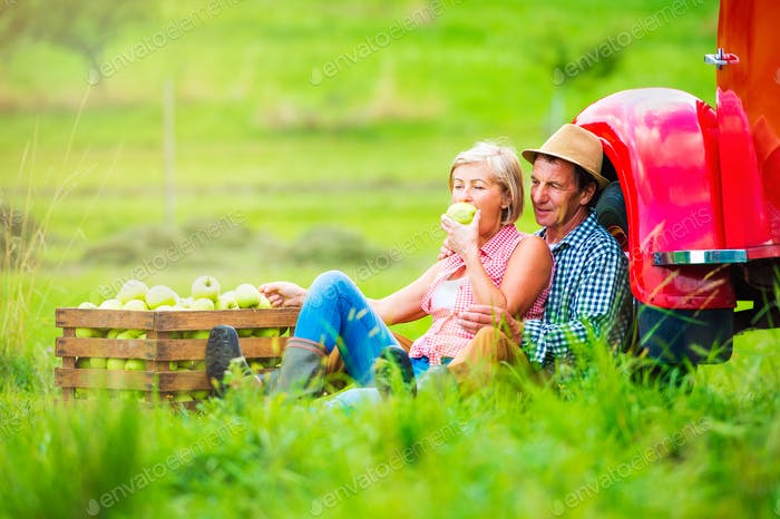Senior couple harvesting apples, sitting at vintage red car