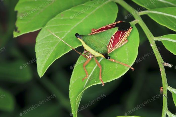 Stinkbug on a Leaf at Night in Costa Rica