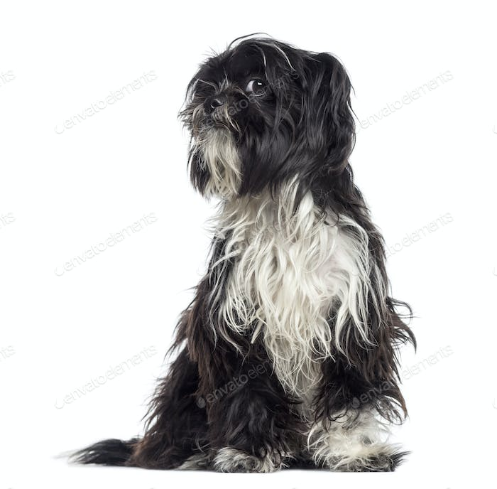 Shaggy Shih Tzu questioning (9 months old)
