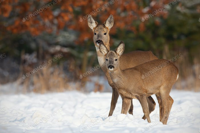 Roe deer, capreolus capreolus, family in deep snow in winter
