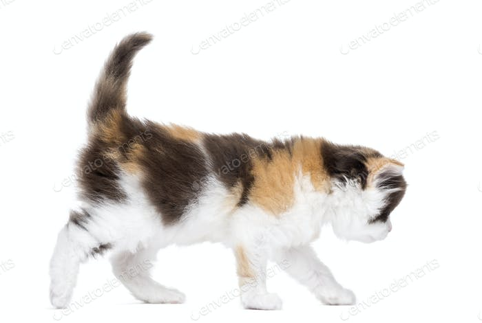 Side view of a Highland straight kitten walking, isolated on white