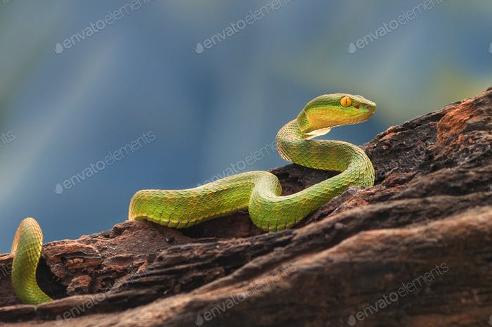 Green Mangrove Pit Viper Snake Purpureomaculatus on a Tree