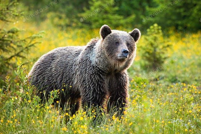 Удивленный бурый медведь слушает на свежем лугу весной