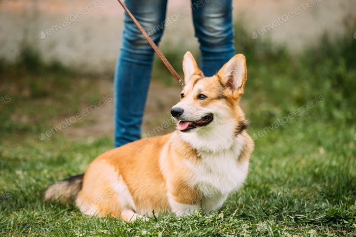 Red Pembroke Welsh Corgi Dog Sitting In Grass