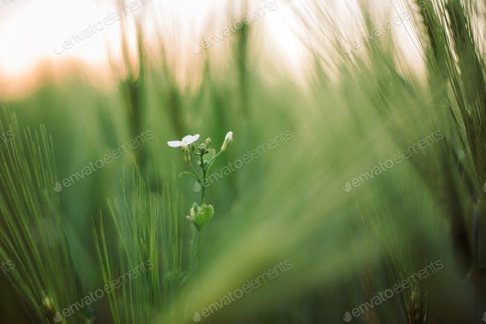 Rye or barley green stems in sunset light in summer field
