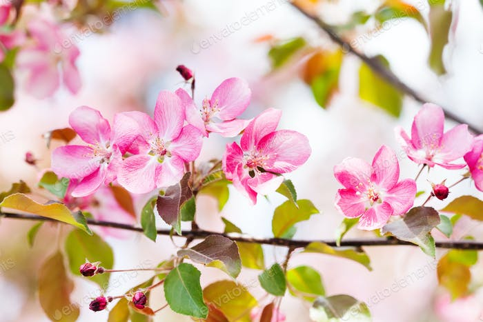 Cherry blossom spring landscape. Blossoming pink petals fruit tree branch.