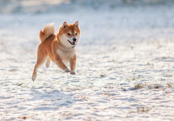 Jumped dog shiba inu on snow