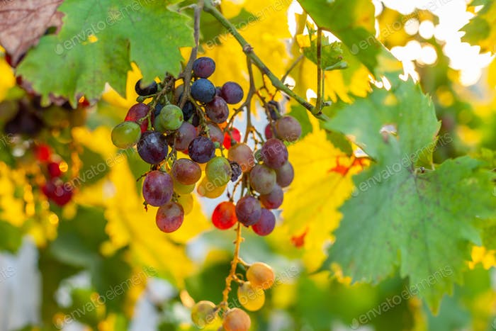 Grapes growing in southern Europe