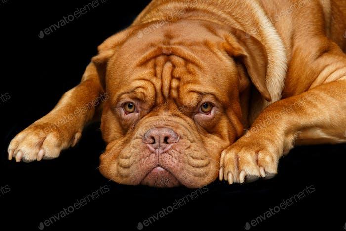 Schöner Bordeaux Dogue Hund