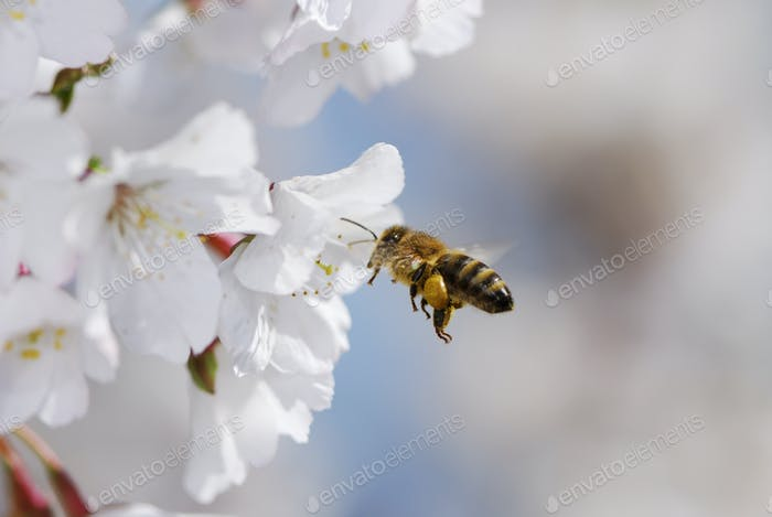 Flying honeybee