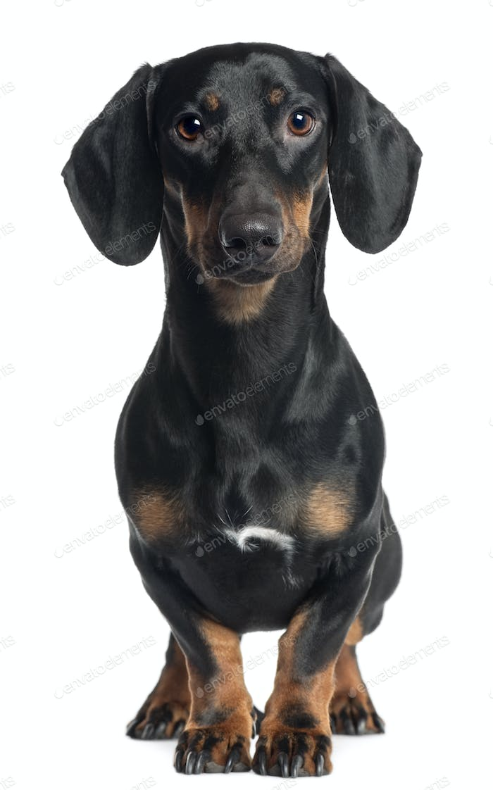 Dachshund, 1 year old, standing in front of white background