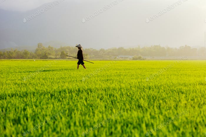 woman working in the rice field in Vietnam